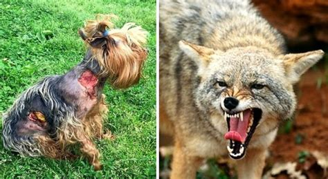 will a coyote attack a tiny yorkie survives coyote attack