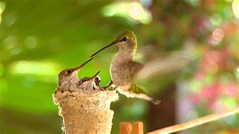 first flight a mother hummingbird s story a e brief