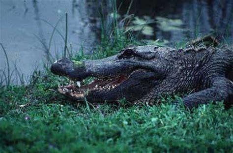 tpwd kids hey tortuga textell     american alligator