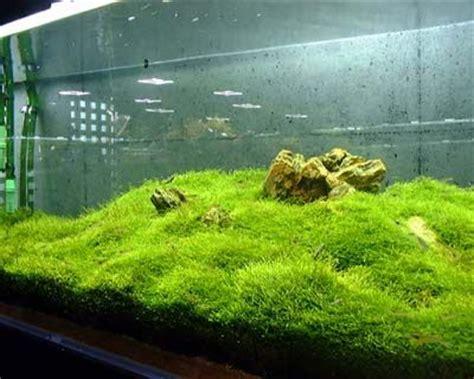 Java Moss Aquascape by Ten Best Aquarium Plants For Beginners Garden Aquarium Editor Ferns And Java