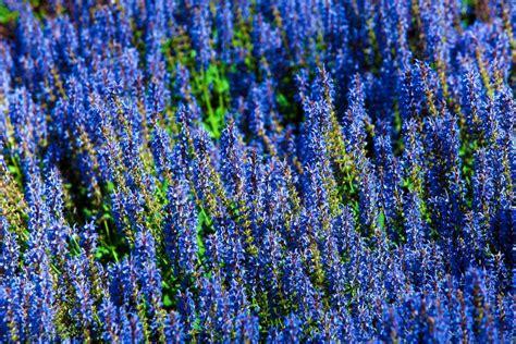 blue garden flower 7 plants with true blue flowers the garden