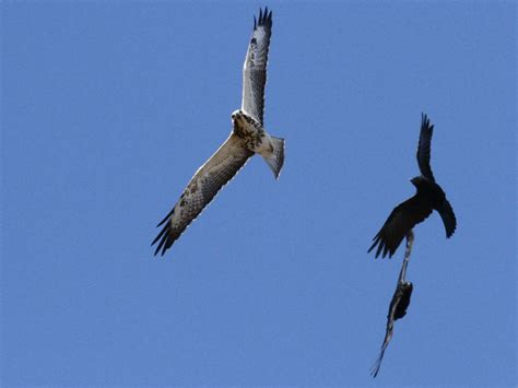 raptors san diego birding