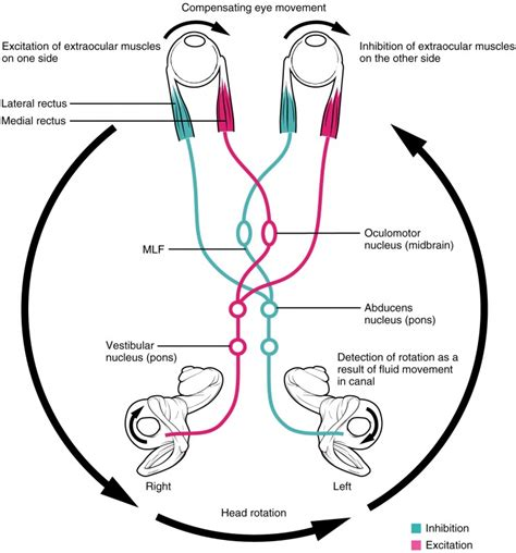 vestibulocochlear reflex the 12 cranial nerves and their functions medical library