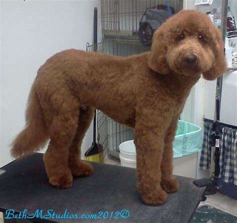 how to bathe a goldendoodle puppy 17 best images about reggie my doodle on comb