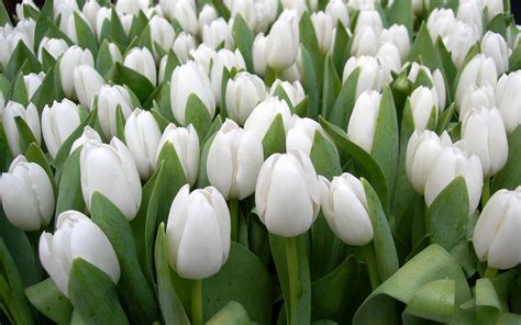 White Flowers by White Tulips Hd Wallpapers