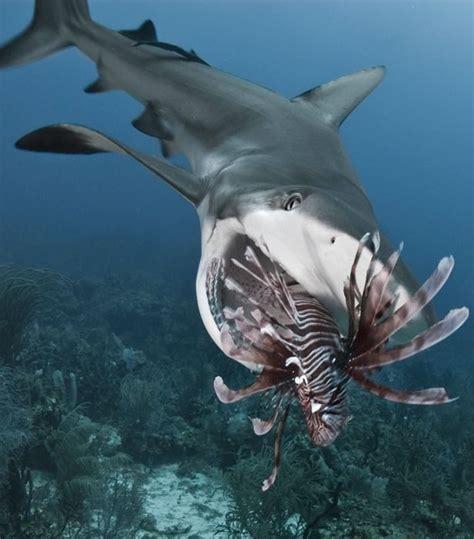 The Bull From The Sea bull shark clipart sea animal