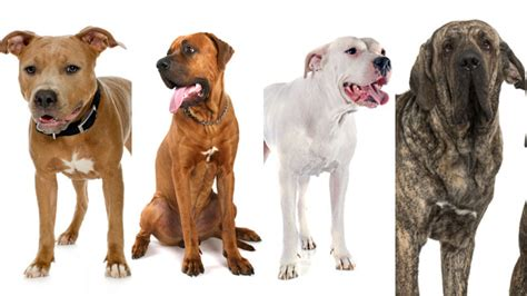 restricted breeds dangerous dogs act what is it what are the banned breeds and what other laws should