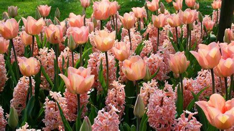 imagenes para fondo de pantalla de tulipanes tulipanes jacintos flores rosas fondos de pantalla hd