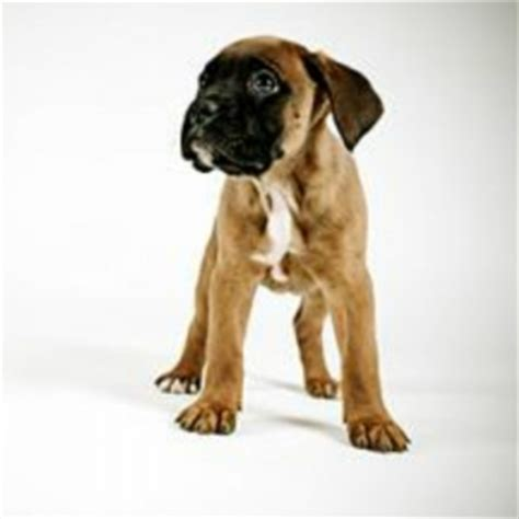 miniature boxer puppies miniature boxer breed information