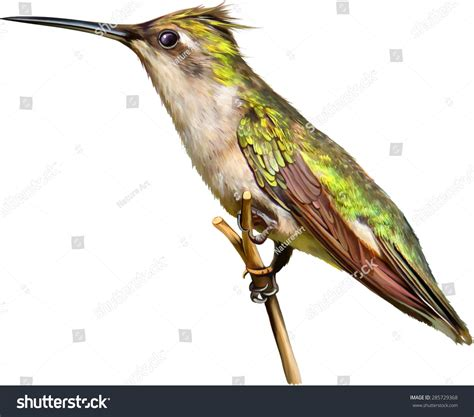 a brown and green hummingbird sits on a perch vector