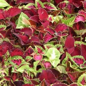 coleus rainbow mix 50 seeds garden seeds 2u