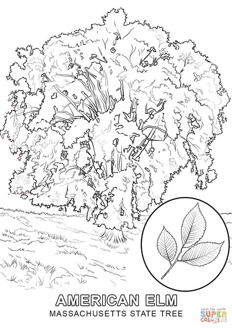 indiana state tree coloring page massachusetts state tree coloring page free printable