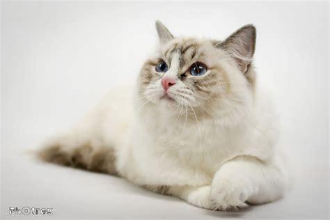 rag n ragdoll o rasie ragdoll ragdolle wspaniałe koty world pl