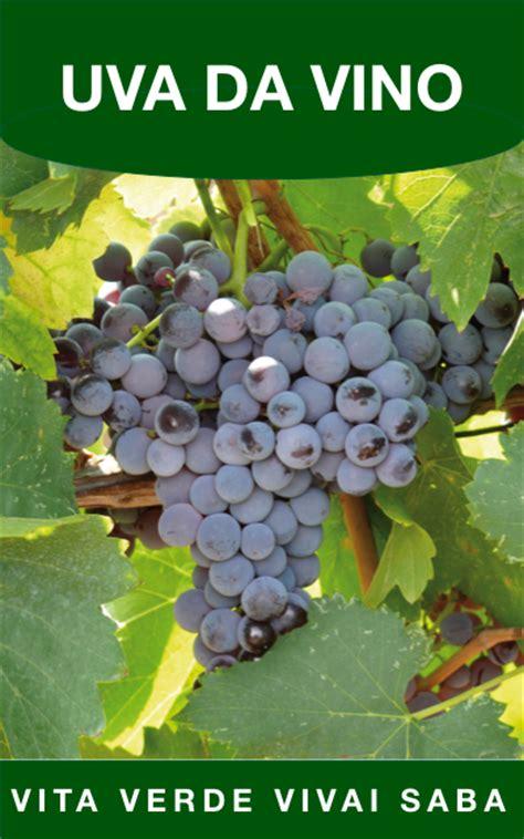 viti in vaso uva da vino viti innestate in vaso