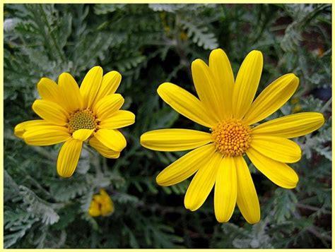 margherite in vaso le margherite fiori in giardino coltivare margherite