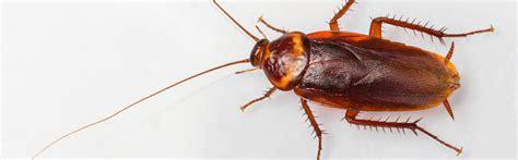 scarafaggi volanti parassiti