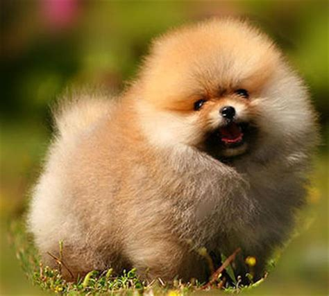 when can puppies be sold pomeranian puppies sold 7 years 2 months pomeranian style from bukit