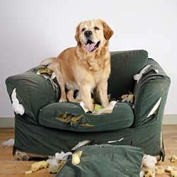 dog eating couch ask the trainer my dog chews and destroys everything
