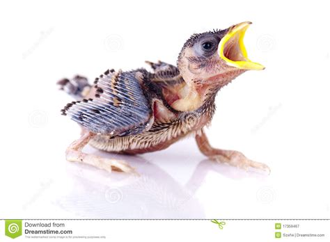 hungry baby sparrow stock image image of beauty animal
