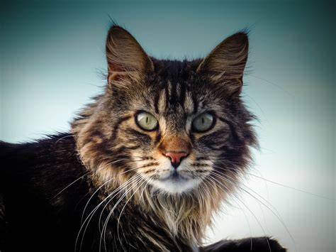 Maine Coon Magic: What is so special about Maine Coon Cats