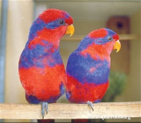 parrot encyclopedia red  blue lory world parrot trust