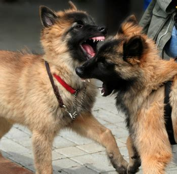 aggressive puppy the 1 mistake i made as a professional trainer