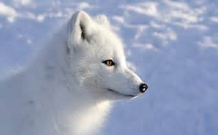 arctic fox color arctic fox foxes wallpaper 3252x2016 467006 wallpaperup