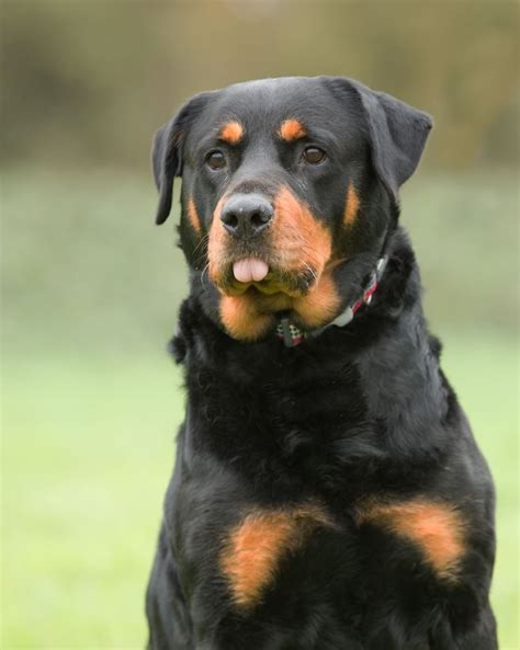 labrador rottweiler cross meisha rottweiler cross labrador retriever malvern worcestershire pets4homes
