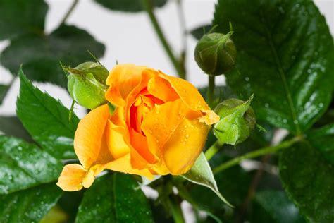 winterharte pflanzen für den garten 5 beetrose goldelse rosa goldelse g 195 188 nstig kaufen