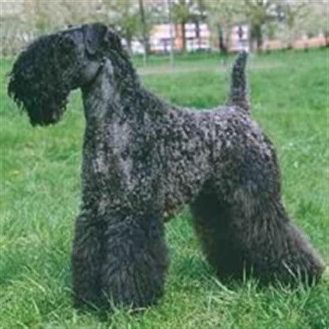 kerry blue terrier puppies for sale kerry blue terrier puppies for sale
