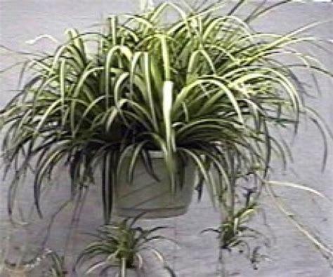 piante da appartamento come curarle le piante da appartamento semplici da curare tutto per