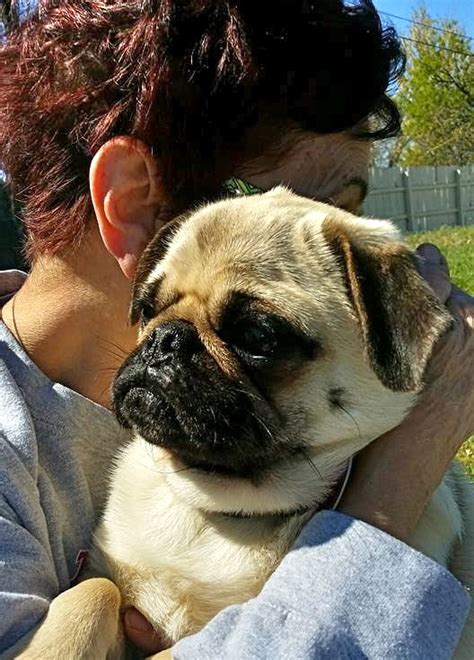 homeward bound pugs volunteers and a psychic aid in hunt for the lost pug the city sentinel