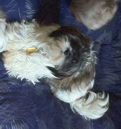 crossroads shih tzu rescue tallahassee fl we need a loving home on maltese dogs shih tzu and maltese