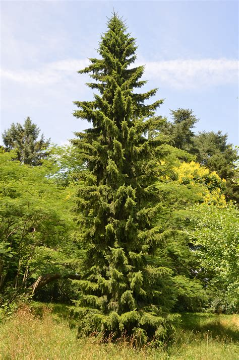 serbian spruce tree strong vertical presence of serbian spruce what grows