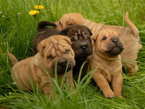 pictures of shar pei dogs kc registered shar pei puppies nelson lancashire pets4homes
