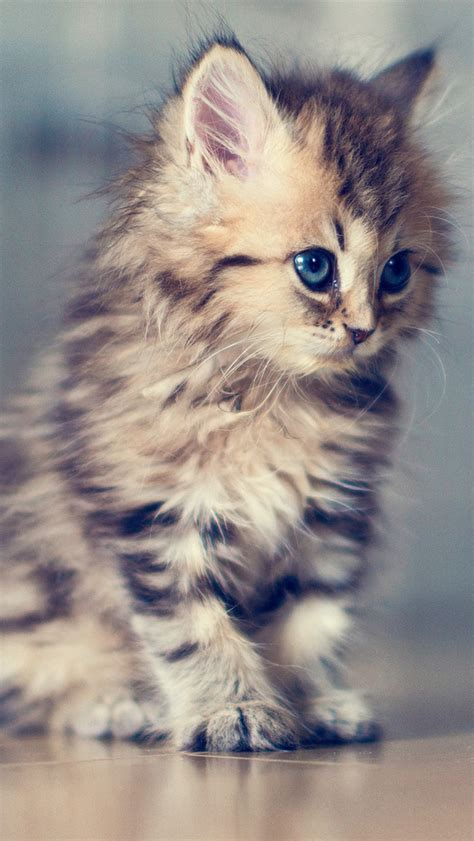 wallpaper iphone cat cute adorable kitten the iphone wallpapers
