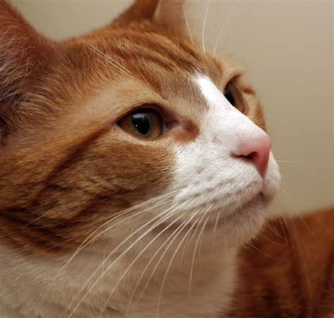 cat whiskers file cat whiskers closeup jpg wikimedia commons