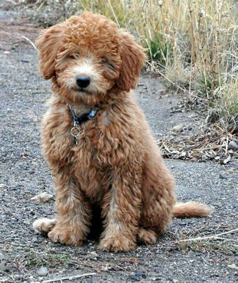 labradoodle puppies mn ruby our grown minilabradoodle mini labradoodles so