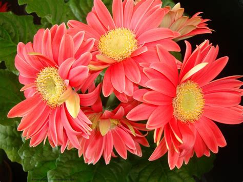 gerber daisies gerbera daisy wallpapers wallpaper cave