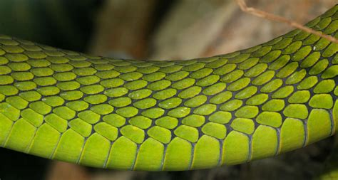 reptiles  background texture snake reptile scales scale closeup green saturated