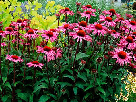 Coneflower:Plants: Echinacea   Northeast Nursery