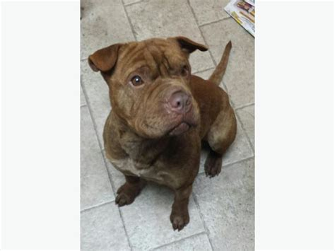 shar pei cross rottweiler pitbull for sale in toronto breeds picture