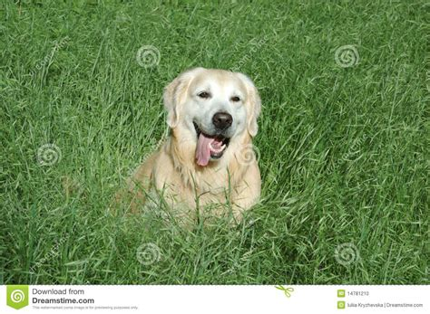 green golden retriever happy golden retriever sitting in green grass stock photo image 14781210