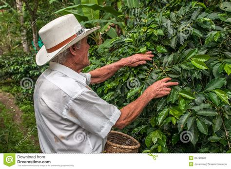SALENTO, ZONA CAFETERIA, COLOMBIA   November, 28: Old Farmer Har Editorial Stock Photo   Image