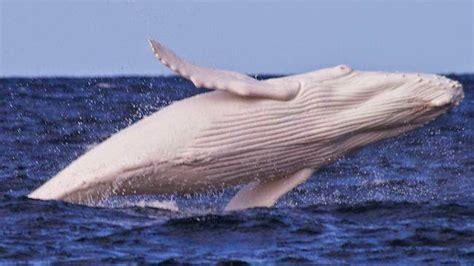 Imagenes De Ballenas Blancas   greenwichdiving migaloo la ballena blanca