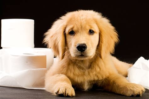 when to potty a puppy how to potty a puppy in 5 easy steps and keep carpet stain free