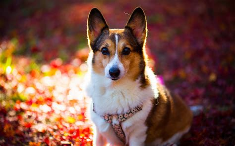 wallpaper dogs 12 hd corgi wallpapers hdwallsource