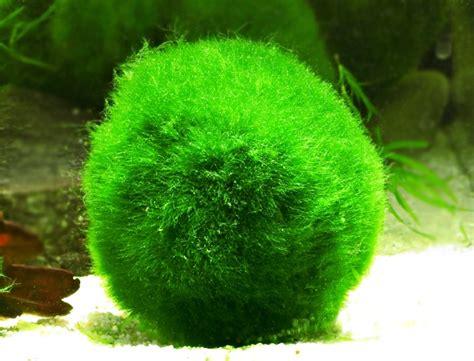 Akar Moss Bonsai By Aqua City algues vertes sur les graviers