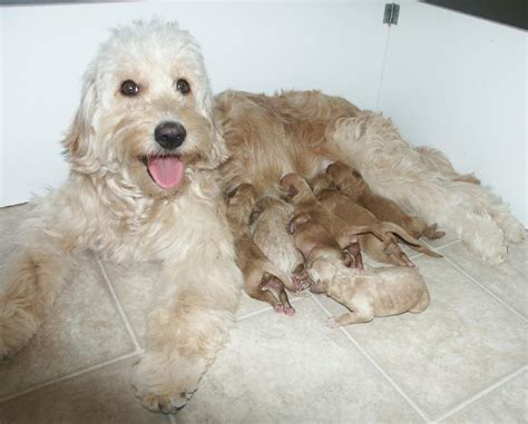 goldendoodle puppies indiana f1 mini goldendoodles in indiana things i like