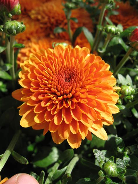 huntersgardencentrecom chrysanthemum orange